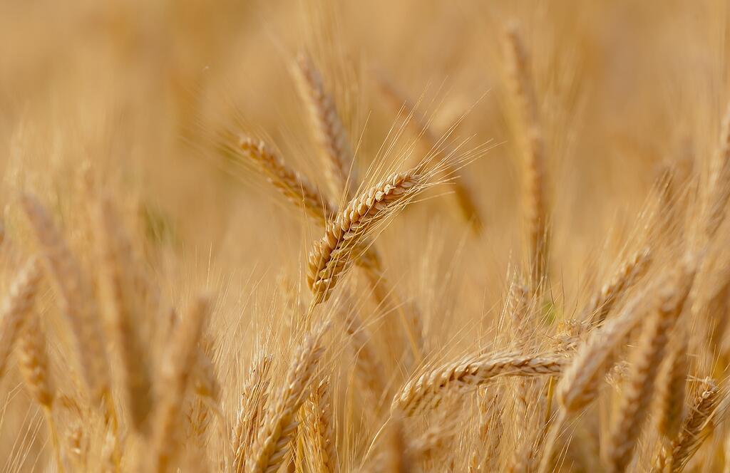 Puglia: Tutti i numeri del grano duro, la CIA 'Filiera in sofferenza'